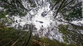 Úc cứu được rừng thông cổ đại 200 triệu năm tuổi trước nguy cơ tuyệt chủng