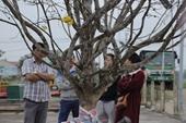 Ngỡ ngàng cây mai rừng độc nhất vô nhị ở Hà Tĩnh