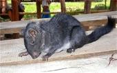 Phát hiện chấn động Chuột tuyệt chủng 11 triệu năm trước xuất hiện ở rừng Trường Sơn
