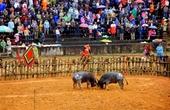 Đề nghị tạm ngừng tổ chức lễ hội chọi trâu Phù Ninh