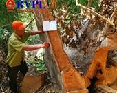 Cận cảnh vụ phá rừng quy mô lớn ở Đắk Nông