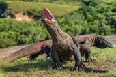 Lần đầu tiên rồng Komodo sinh ba mà không cần giao phối