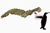 Hóa thạch cánh chim cánh cụt 43 triệu năm tuổi gây sửng sốt