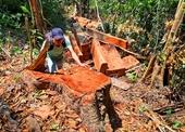 Đốn hạ trái phép 2 cây gỗ khủng , 5 đối tượng bị khởi tố