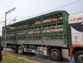 Vận chuyển lậu 342 con lợn từ cửa khẩu Lao Bảo ra TP Vinh tiêu thụ