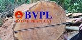 Cận cảnh vụ tàn phá rừng tự nhiên tại Quảng Bình
