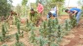Tiếp tục phát hiện 1 hộ dân trồng hơn 1 000 cây cần sa cho gà, vịt ăn