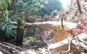 Khởi tố vụ phá rừng quy mô lớn tại Phú Yên