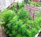 Lâm Đồng Phát hiện hơn 300 cây cần sa trồng trong vườn nhà dân