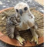 """Rao bán chim săn mồi """"rầm rộ"""" trên Internet tại Việt Nam"""