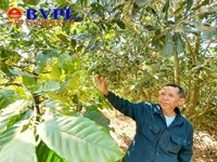 """""""Thủ phủ mắc ca"""" ở Tây Nguyên Lo vì chưa có nhiều đơn vị uy tín để cung cấp cây giống cho người dân"""