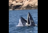 Cá voi xuất hiện trên vịnh Cam Ranh đúng Tết Đoan Ngọ