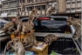 Vương quốc khỉ ở Thái Lan cũng náo loạn vì COVID-19