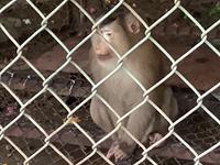 Người đàn ông ở Hà Nội bị khỉ nuổi tấn công đứt gân tay