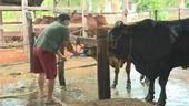 Bắt quả tang lò mổ bơm nước vào bụng bò khi giết mổ để tăng trọng lượng