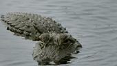 Cảnh báo cá sấu xuất hiện tại Bến phà Phú Cường ở Bình Dương