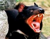 Quỷ dữ Tasmania tái xuất trên đất liền Úc sau 3 000 năm tuyệt chủng