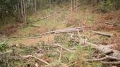Bất ngờ về vụ người đàn ông đầu độc, đổ hóa chất hại gần 60 cây thông