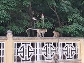 Đề nghị di dời đàn khỉ sống trong Tòa thánh tấn công người về rừng tự nhiên