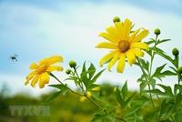 Hoa dã quỳ rực rỡ phủ vàng rực rỡ khắp núi đồi Điện Biên