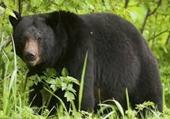 Người đàn ông bị trọng thương do gấu rừng tấn công