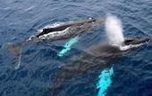 Cá voi xanh Nam Cực xuất hiện bất ngờ sau một thế kỷ vắng bóng
