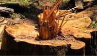 Truy tìm lâm tặc chặt phá rừng ở Lâm Đồng
