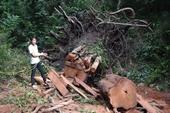 Đã bắt được 3 lâm tặc vào rừng cắt hạ nhiều cây gỗ quý hiếm