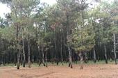 Gia Lai đề xuất phá hơn 155ha rừng thông gần 50 năm tuổi để xây dựng sân golf