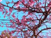 Chiêm ngưỡng sắc hoa anh đào Nhật Bản bung nở tuyệt đẹp tại Sa Pa