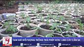Tạm giữ đối tượng trồng trái phép hơn 1 000 cây cần sa
