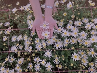Hoa tam giác mạch, cúc họa mi khoe sắc trên Tây Nguyên