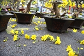 """Mai Tết bán ế ẩm, chủ vườn tiếc """"đứt ruột"""" cắt bỏ hoa mai chở về quê"""