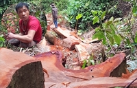 Lùm xùm vụ bắt lâm tặc cưa hạ 11 cây gỗ bán lấy tiền  tiêu Tết