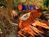 Hình ảnh ngổn ngang gỗ rừng bị lâm tặc cưa hạ bán lấy tiền  tiêu Tết