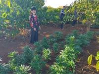Một hộ dân trồng trái phép hàng trăm cây cần sa để cho  gà ăn