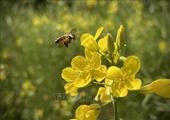 Rực rỡ cánh đồng hoa cải ở Suối Giàng Yên Bái