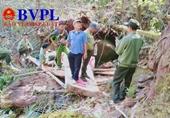 Kiểm sát khám nghiệm hiện trường vụ lâm tặc cưa hạ gỗ Pơ Mu quý hiếm