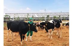 Vinamilk nhập khẩu hơn 2 100 bò sữa HF thuần chủng từ Mỹ về trang trại mới tại Quảng Ngãi
