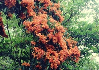 Cuốn hút mùa hoa Trang rừng ở Phú Yên