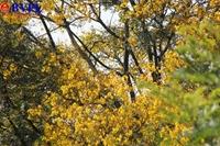 Sắc vàng hoa lim xẹt trên bán đảo Sơn Trà