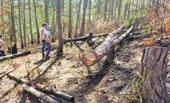 Trưởng ban quản lý rừng bị đình chỉ công tác vì để lâm tặc lộng hành