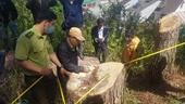 Cận cảnh hiện trường nhiều cây thông cổ thụ bị triệt hạ ngay trung tâm TP Đà Lạt