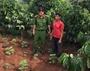 Phát hiện một cặp vợ chồng trồng gần 500 cây cần sa trong rẫy vắng