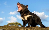 Quỷ Tasmania lần đầu tiên được sinh ra trong môi trường hoang dã ở đại lục Australia sau 3 000 năm
