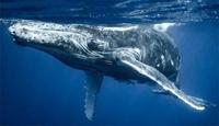 Hi hữu Thợ lặn suýt mất mạng sau khi lọt vào miệng cá voi khổng lồ