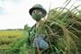 Hà Nội Các chiến sĩ công an gặt lúa mang về tận nhà giúp người dân đang ở khu cách ly