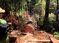 Cận cảnh hiện trường vụ phá rừng nghiêm trọng tại huyện Bắc Trà My
