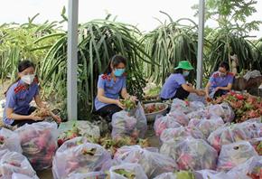 Chi đoàn VKSND tỉnh Long An thu hoạch nông sản gửi tặng bà con gặp khó khăn