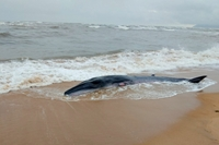 Giải cứu cá voi nặng gần 3 tấn dạt bờ biển Thừa Thiên Huế